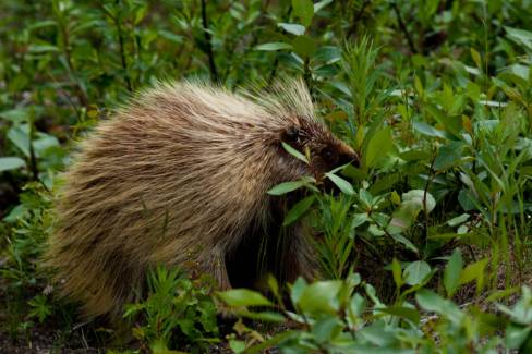 North American Porcupine (Erethizon dorsatum) 20-32 inches long. Photo by FWS/public domain.