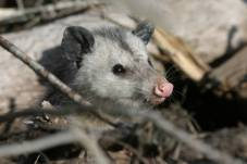 Opossum (Didelphis virginiana) - 24 to 32 inches long. USFWS Refugee Staff/public domain.