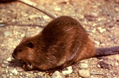 Beaver (Castor canadensis) 32 - 55 inches long. Photo by NPS.gov/Public domain.