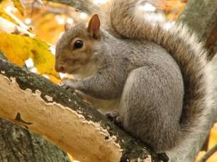 mammals_Gray Squirrel (Sciurus carolinensis) eating maple seeds.