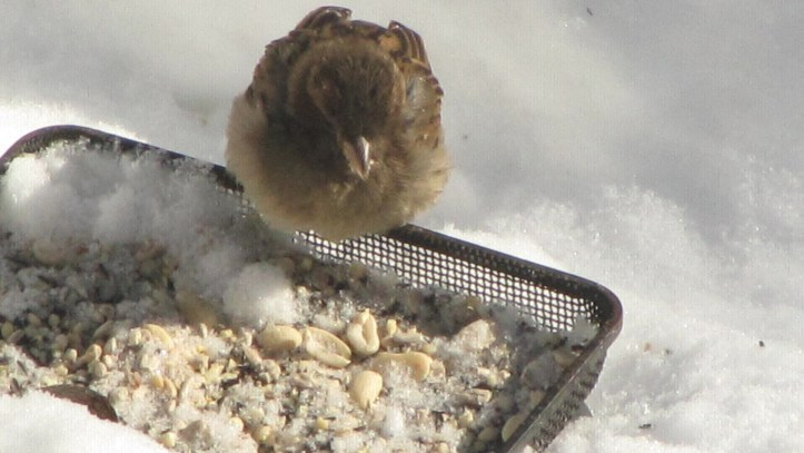 A female House Sparrow at a winter feeder in Philadelphia.