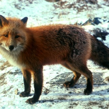 mammals_red_fox