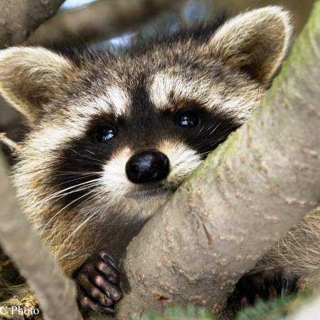 mammals_raccoon
