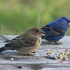Two Blue Grosbeaks, blue male and brown female