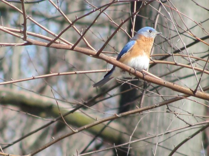 winter bird - Eastern Bluebird (Sialia sialis) Eastern Bluebird (Sialia sialis) on bare branches in early spring