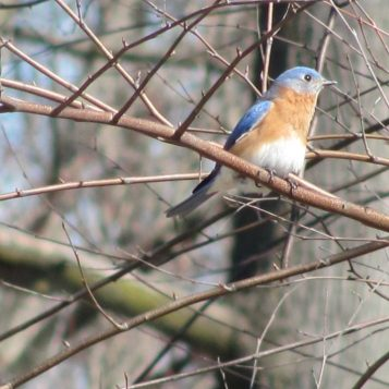 Eastern Bluebird (Sialia sialis) Eastern Bluebird (Sialia sialis) on bare branches in early spring