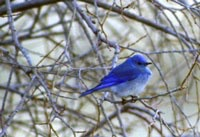 Mountain Bluebird (Sialia currucoides). Photo: public domain, fws.gov