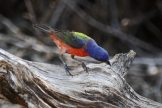 Painted Bunting (Passerina ciris). Photo: public domain, fws.gov.