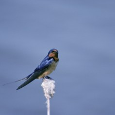 Barn Swallow (Hirundo rustica) perched on a seedhead