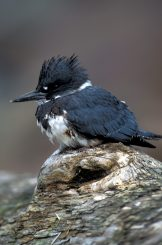 Belted KIngfisher (Ceryle alcyon). Photo public domain, fws.gov