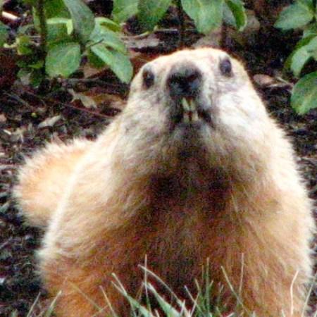 Groundhog or Woodchuck_Marmot monax bearing teeth