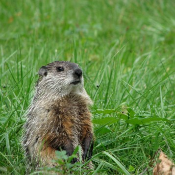 A Groundhog or Woodchuck_Marmot monax standing on hindlegs