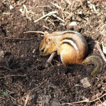 Eastern Chipmunk (Tamias striatus) digging in the soil near its burrow