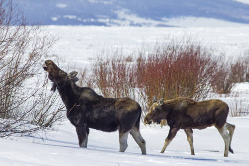 Female moose and calf standing and browsing in the snow. Public domain?USFWS.