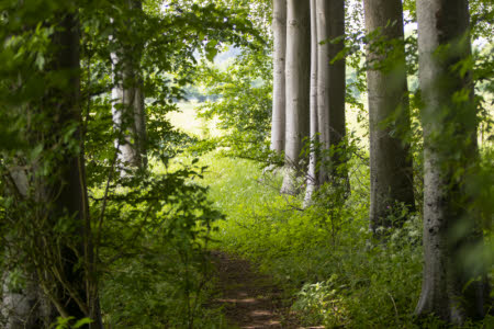 A line of beech trees along a path at Lodge Park and Sherborne Estate, Gloucestershire