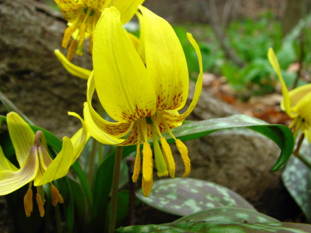 Trout Lilies Flowers in Bloom in Early Spring. Photo by Donna L. Long.