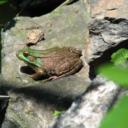 Bullfrog (Rana catesbeiana). Photo by Donna L. Long.
