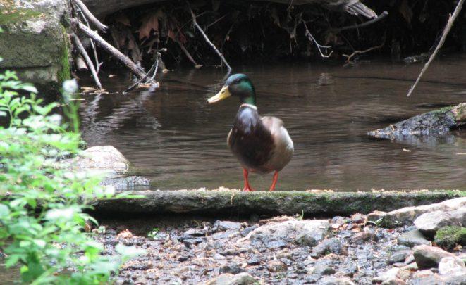 Mallard (Anas platyrhynchos) enhanced pool - Jenkintown Creek,