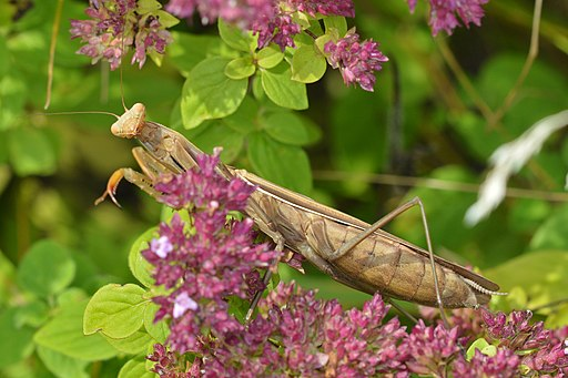 European_Mantis (Mantis_religiosa) Guelph,_Ontario_02