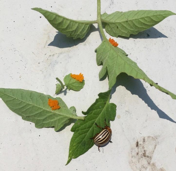 Colorado Potato Beetle laying orange eggs on stressed tomato plants.