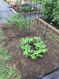 young bean plants