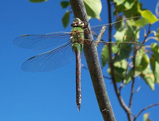 female Common Green Darner dragonfly