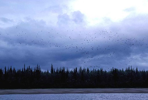 Migrating birds flying at dusk. The Sun has set and darkness is setting in. U.S. Fish and Wildlife Service [Public domain]