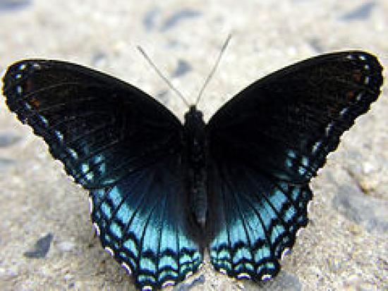 Red-spotted Purple Butterfly in Tyler State Park, PA. MikeParker at en.wikipedia [CC BY-SA 2.5 (https://creativecommons.org/licenses/by-sa/2.5)]