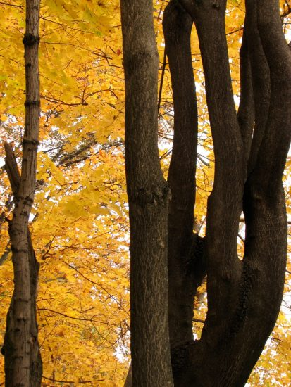 Fall Trees trunks and Golden Leaves