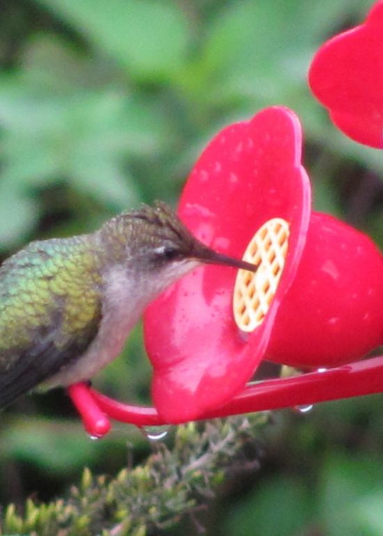Female Ruby Throated Hummingbird at Feeder in autumn