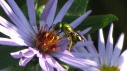 Fall Aster and Sweat Bee. Photo by Donna L. Long.