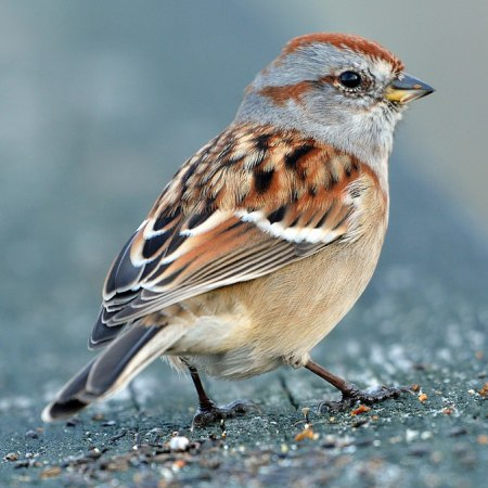 American Tree Sparrow (Spizelloides arborea)