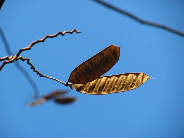 Tree seed pod against a winter sky.