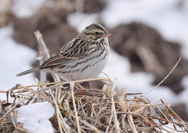 birds_savannah_sparrow