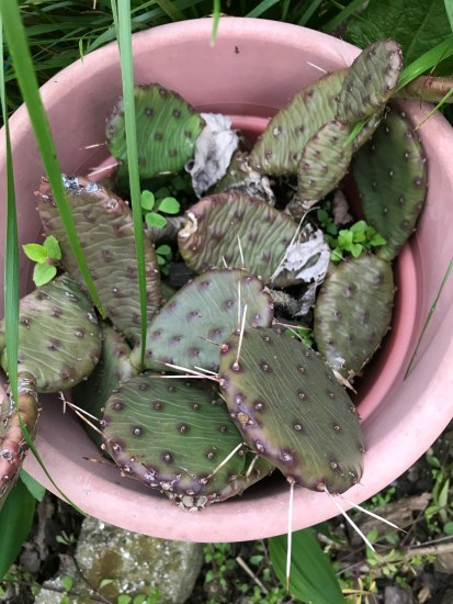 Eastern Prickly Pear (Opuntia humifusa) in my garden,