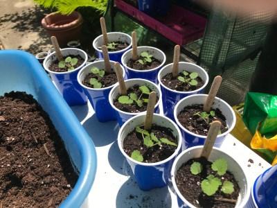 lavender hyssop seedlings