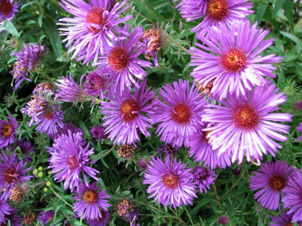 New_England_Aster