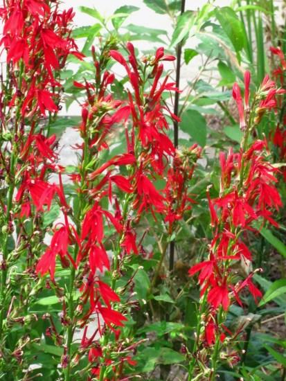 cardinal flower_lobelia cardinalis