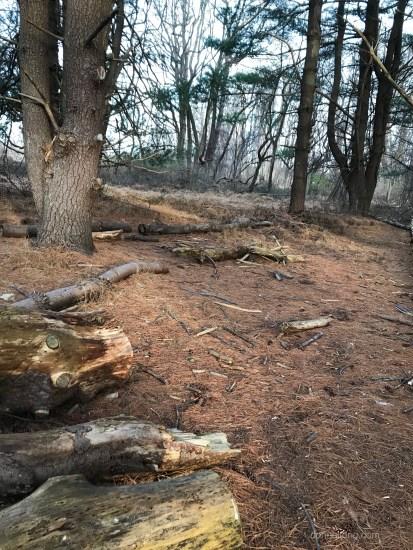 rusty pine needles