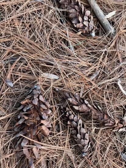white pine tree cones on forest floor