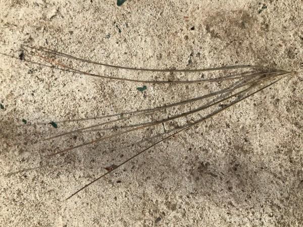 white pine tree needle cluster