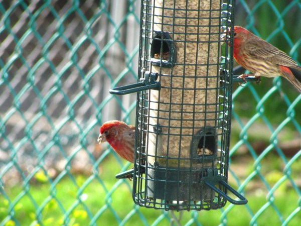 House Finches (Carpodacus mexicanus)