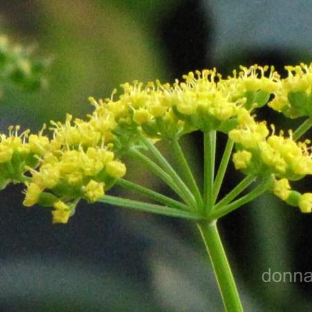 flat flower heads Golden Alexanders (Zizia aurea)