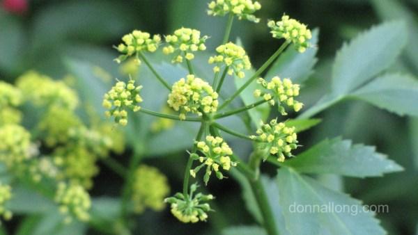 open flower cluster Golden Alexander