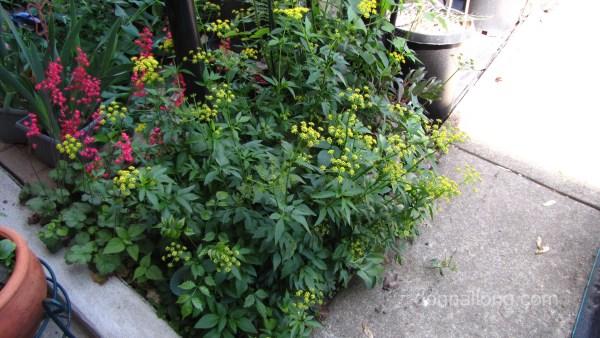 low, compact plant - Golden Alexanders.