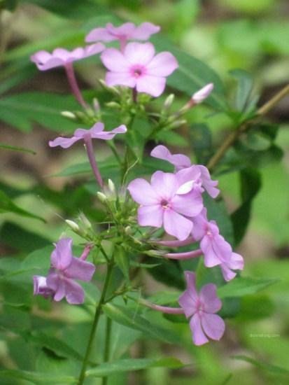 Lavender colored summer phlox