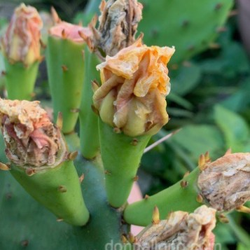 Prickly Pear spent blossoms