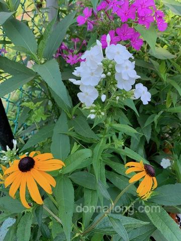 "White Summer Phlox and Rudbeckia ""Goldstrum'"