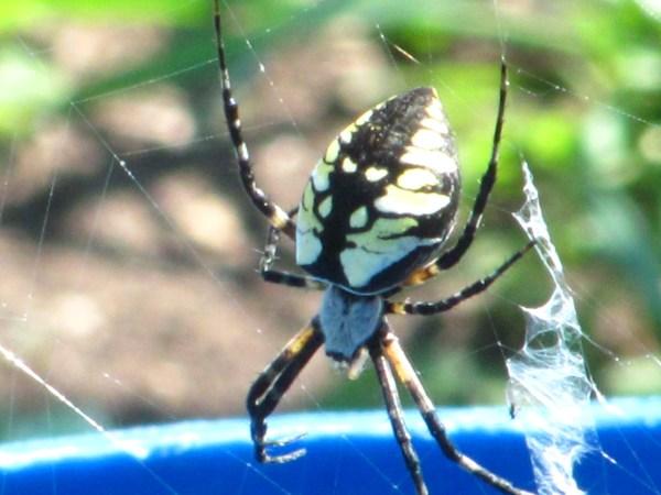 yellow garden spider (Argiope aurantia)
