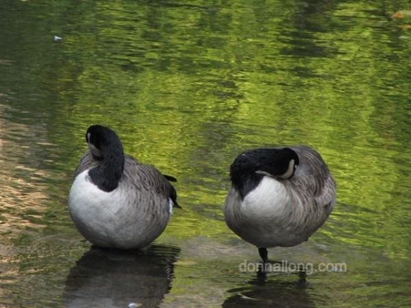 birds canada geese